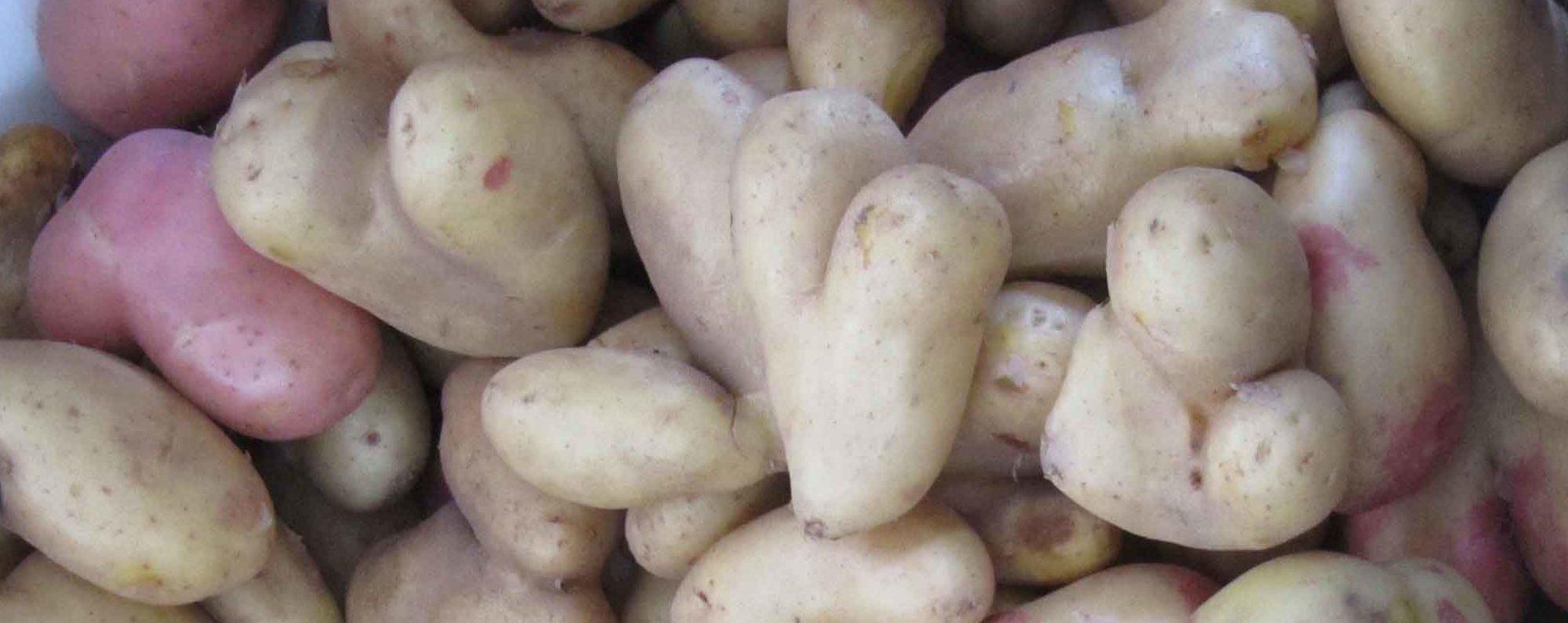 Jordvetaren potatis potatoe
